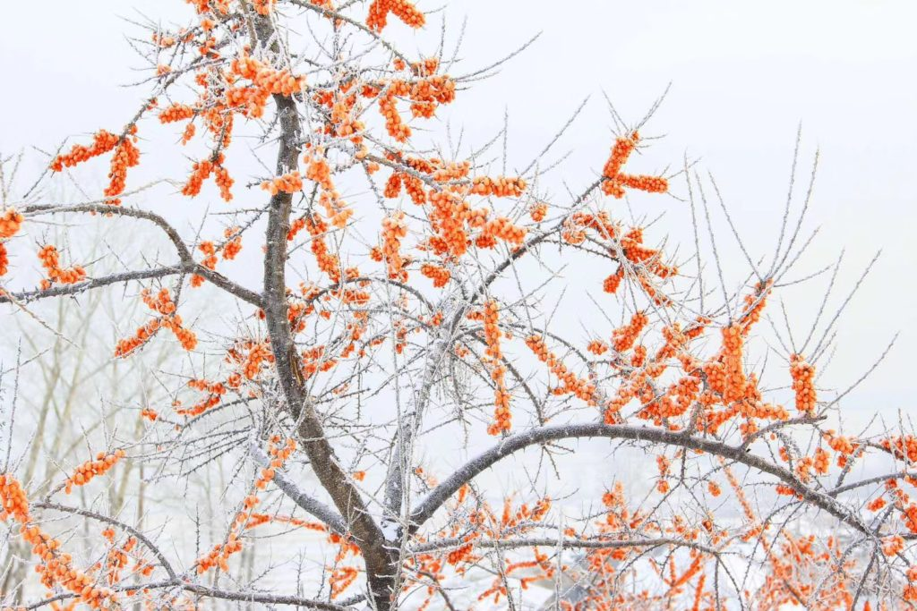 真っ白い世界で目立つオレンジ色の果実