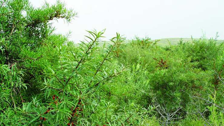 緑に茂ったサジーの葉