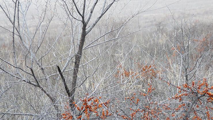 冬にはサジーの葉はすべて落ちてしまいます
