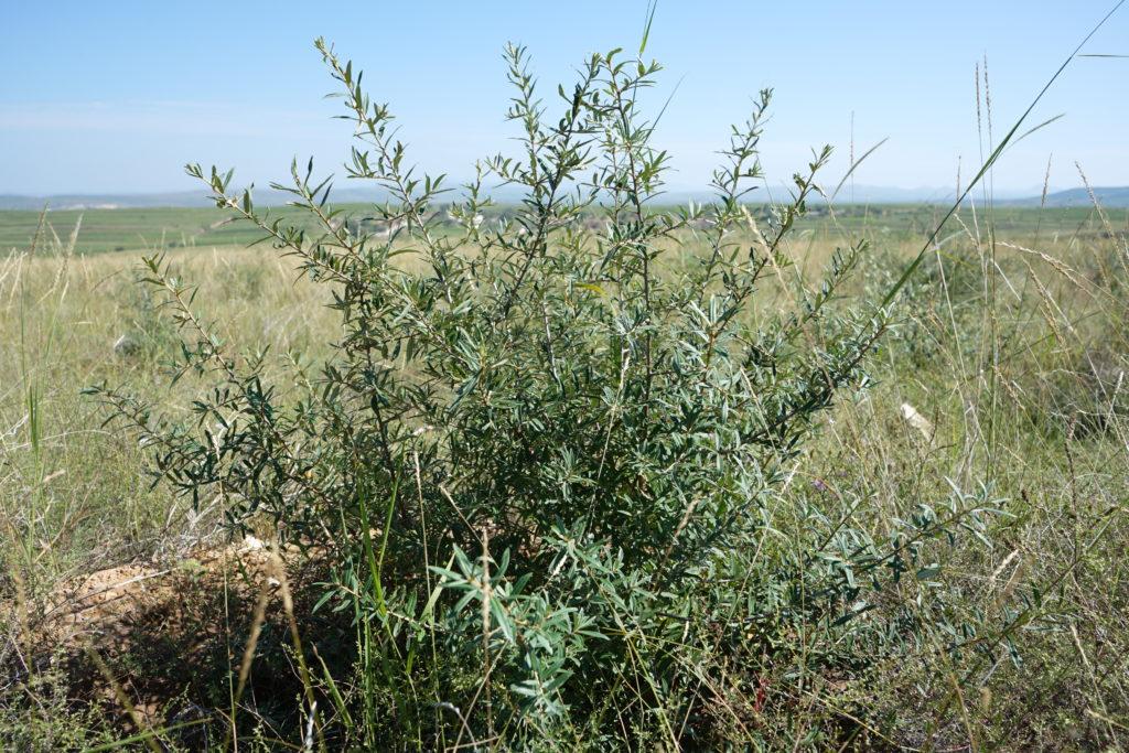 他の植物と共存ずるサジー